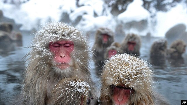 Japanese wild monkeys enjoy an open-air hot spring at the Jigokudani (Hell's Valley) Monkey Park, at Yamanouchi town near Shigakogen ski resort, in Nagano prefecture, January 24, 2012.