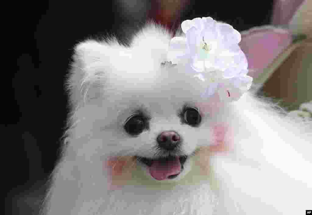 Seekor anjing yang mengenakan pin bunga sakura meramaikan festival bunga sakura di Seoul, Korea Selatan.