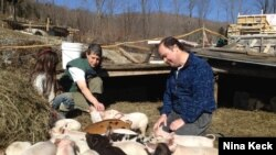 Walter and Holly Jeffries with some of the 300 pigs they're raising in West Topsham, Vermont. (N. Keck/VOA)