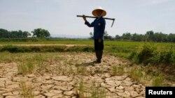 Một người nông dân đứng trên ruộng lúa bị khô cằn ở tỉnh Thanh Hóa, Việt Nam.