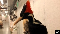 An ivory-billed woodpecker specimen is on a display at the California Academy of Sciences in San Francisco, Friday, Sept. 24, 2021. (AP Photo/Haven Daley)