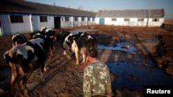 一位男子把他的奶牛赶往内蒙古呼和浩特郊外的一处挤奶站。(资料照)