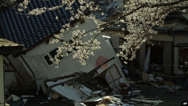 Cherry blossoms frame a house tumbled by the 2011 Japan earthquake and tsunami.