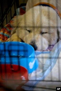 Pearl, una mascota tipo Gran Pirineo descansa en su jaula tras varios días difíciles debido al #HuracánFlorence. Ella y otras mascotas fueron de un refugio en Carteret County, Carolina del Norte, fueron llevadas a un área de la Feria Estatal en Raleigh. Sept. 17 de 2018.