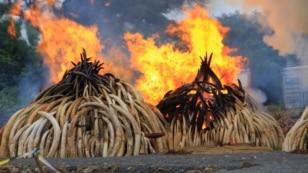Ivory piles burn at Kenya's Nairobi National Park, April 30, 2016. (J. Craig/VOA)