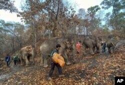 ہاتھی جنگل میں واپس جا رہے ہیں