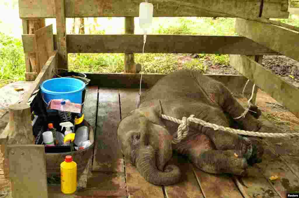 인도네시아 아체주 '사리 코끼리 훈련 센터'에서 덫에 걸려 다친 코끼리가 수의사들의 돌봄을 받고 있다.