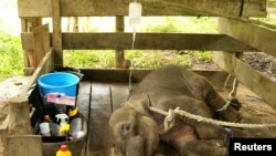 A young female elephant, injured after being caught in a snare trap, receives treatment from a team of government and university veterinarians at the Saree Elephant Training Center in Saree, Aceh province, Indonesia May 3, 2018 in this photo taken by Anta