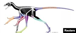 The reconstructed body outline of the birdlike feathered dinosaur Anchiornis, using laser-stimulated fluorescence images, is pictured in this undated handout image. Colored areas represent different fossil specimens and black areas are approximated reconstructions. (Xiaoli Wang, Michael Pittman, et al.)