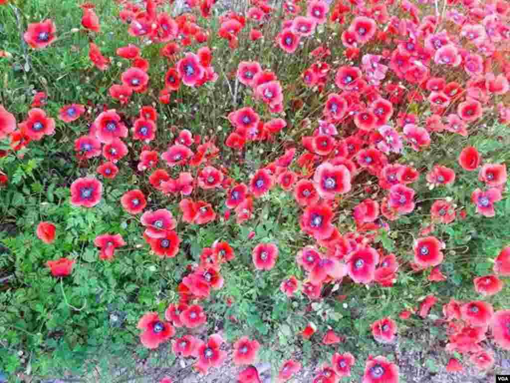 نمایی از گل های حاشیه جاده اسالم به رشت عکس: (ارسالی شما)