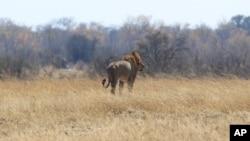 Seekor singa bernama Tommy di taman nasional Hwange, Zimbabwe (6/8).