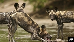 A critically endangered African wild dog (Lycaon pictus) eats a Bushbuck's head and neck in the Mana Pools National Park, a World Heritage Site, in northern Zimbabwe November 7, 2009.