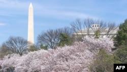 """Washington'da Baharın Müjdecisi """"Kiraz Festivali"""""""