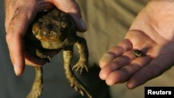 Graeme Sawyer, founder of the Northern Territory group known as Frog Watch, holds a cane toad (L) and a native frog at a billabong located 120 km (75 miles) south of Darwin, Australia, May 11, 2005.