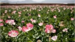 افزایش تولید تریاک در افغانستان
