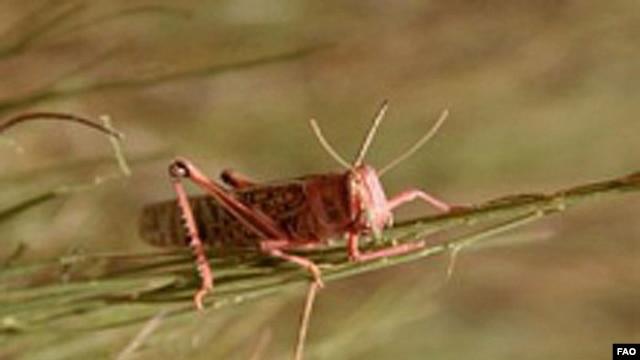 Desert locust (FAO / Diana Giampeiro)