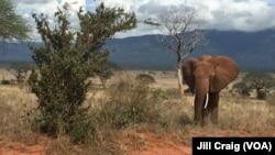 Elephants in Tsavo East National Park, Kenya, April 20, 2016.