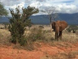Seis elefantes abatidos por dia em Moçambique