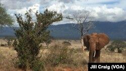 FILE - Elephants are seen in in Tsavo East National Park, Kenya, April 20, 2016.