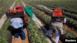 Des ouvriers agricoles ramassent des fraises dans la ville de Moulay, dans la province de Kenitra, au Maroc, le 15 mars 2014.