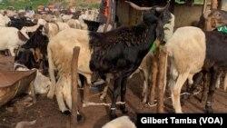Les moutons en vente au marché de Nyanya près d'Abuja, au Nigeria, le 30 juillet 2020. (VOA/Gilbert Tamba)