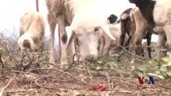 肯尼亚牧民种植抗旱树