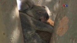 Dronlar alimlərə koalaların yerini müəyyənləşdirməyə kömək edir