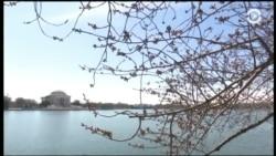 Весна пришла, а вишня не зацвела