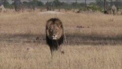 狮子塞西尔事件引发激烈辩论