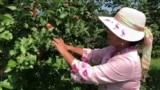 Diaspora Indonesia di Littleton, Massachusetts Wujudkan Mimpi Menjadi Petani Buah di Amerika