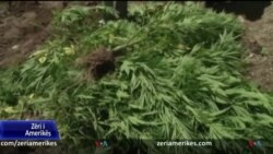 Shqipëri, Kultivimi i bimëve narkotike vazhdon edhe gjatë pandemisë