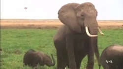 DNA Samples Help Fight Illegal Ivory Trade
