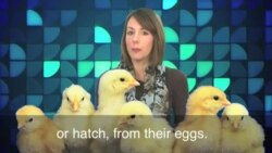 English in a Minute: Don't Count Your Chickens Before They Hatch
