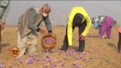 بھارتی کشمیر میں زعفران کی فصل تیار، کٹائی جاری