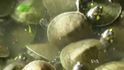 Conservation Programs Return Turtles, Orangutans to the Wild