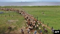 Louisiana'da kasırga öncesi atlarını bölgeden kurtarmaya çalışan bir kovboy.