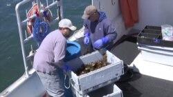 Anjloknya Ekspor Lobster AS akibat Perang Dagang