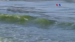 Alga amenaza al ecosistema marino