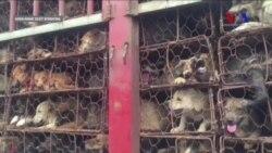 Çin'deki Tartışmalı Köpek Festivali Başladı