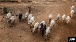 Les éleveurs Foulani Wodabé menacé par la sécheresse