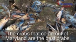 Blue Crabs: A Messy Meal from the Chesapeake Bay