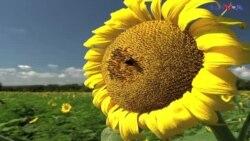 سورج مُکھی کے پھول اپنے جوبن پر