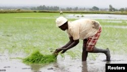 FILE - A farmer sets rice seedlings into paddy fields at the Mwea Irrigation Scheme in Kirinyaga district, about 100 km (62 miles) southeast of Kenya's capital Nairobi.
