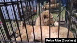 Singa Afrika yang berhasil diamankan Kepolisian Daerah Riau dari upaya penyelundupan satwa langka, Minggu, 15 Desember 2019. (Foto: Polda Riau)