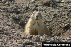 A prairie dog at Badlands National Park