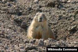 A prairie dog at Badlands National Park