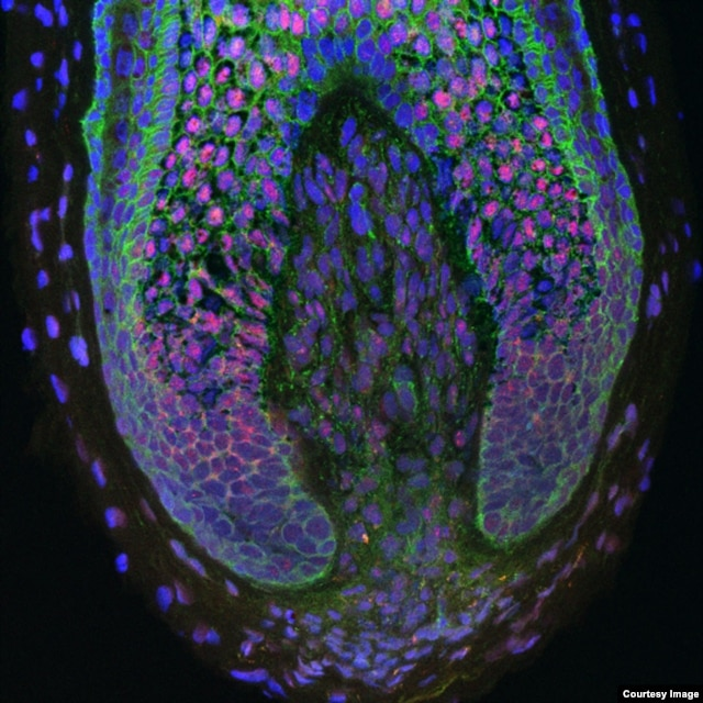 For the first time, researchers have been able to take human dermal papilla cells (those inside the base of human hair follicles) and use them to create new hairs. (Claire Higgins/Christiano Lab at Columbia University Medical Center)