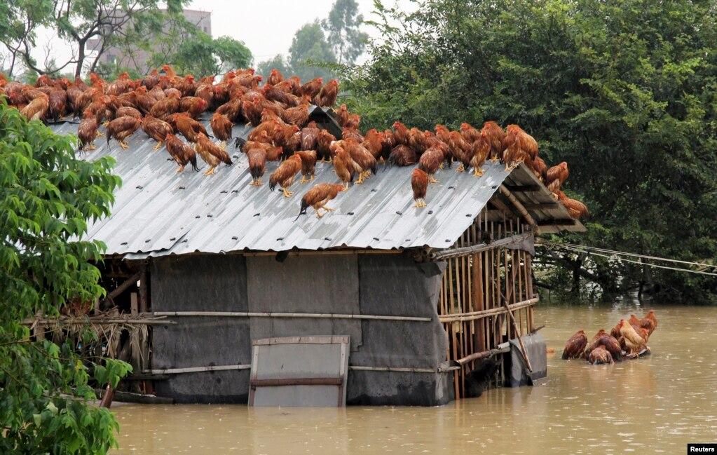2015年8月15日,广州茂名在遭遇台风袭击后,洪水泛滥,鸡群上房顶避难。