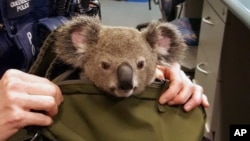 In this photo provided by Queensland Police Service and taken on Nov. 6, 2016, a koala looks out from a handbag at a police station in Brisbane, Australia. Koalas are officially listed as vulnerable to extinction in New South Wales.