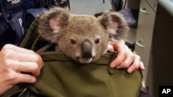 In this photo provided by Queensland Police Service and taken on Nov. 6, 2016, a koala looks out from a handbag at a police station in Brisbane, Australia.